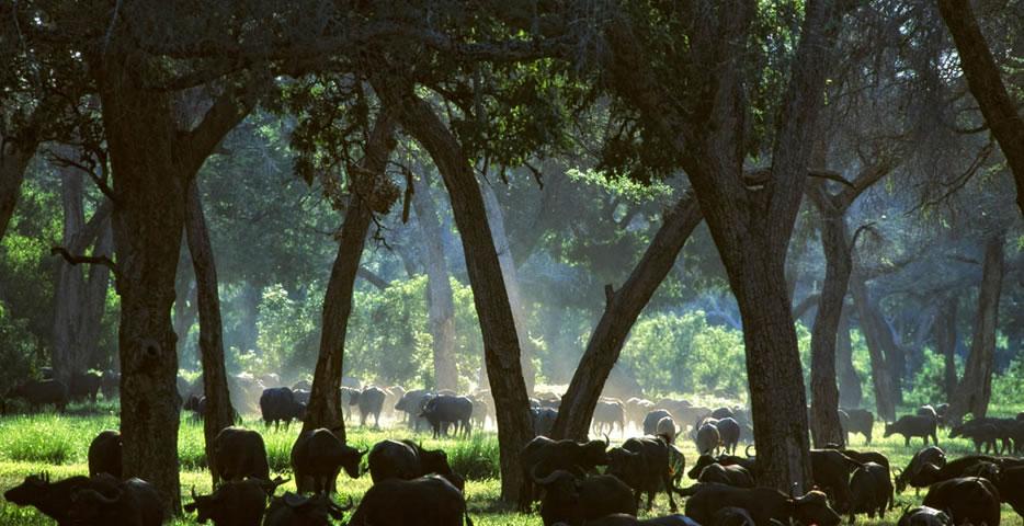 Buffalo woodland