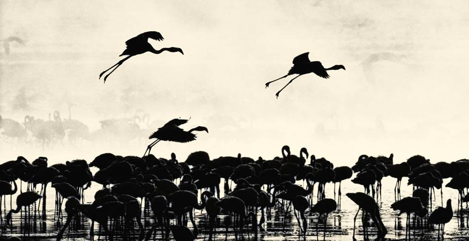 Bagoria flamingos