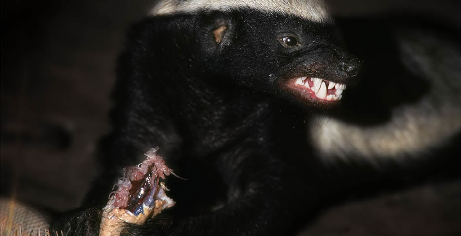 Badger snarl
